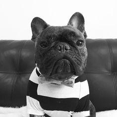 Pierre Brando, the Dapper French Bulldog ❤️