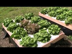Growing Hydroponic Lettuce Outside with No Electricity - YouTube