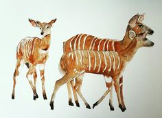Nyalas 1 Artist Lorna Pauls Watercolors on quarter sheet Bockingford paper Done April 2017 Watercolour Art, Watercolors, Giraffe, Paper, Artist, Water Colors, Felt Giraffe, Artists, Watercolor Paintings