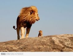 The Lion King is Real! #wildlife #lions