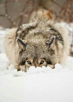 Gray wolf peeking through the snow! Check more at http://blog.blackboxs.ru