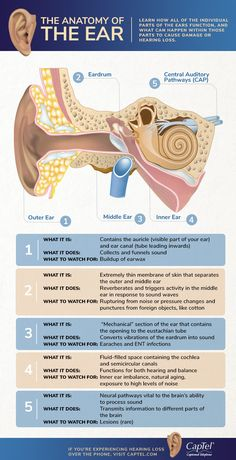 Looking for the anatomy of the ear? Check out our infographic and learn how each individual parts function and the damage that can lead to hearing loss here. Speech And Hearing, Hearing Aids, Ear Function, Basic Anatomy And Physiology, Study Biology, Speech Language Therapy, Speech Pathology, Human Body Anatomy, Human Body Systems