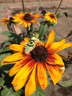 Stunning grasshopper on a flower next to our vegetable garden. Never seen anything like it. Beautiful Creatures, Vegetable Garden, Fields, Scenery, Ocean, Sugar, Beach, Nature, Flowers