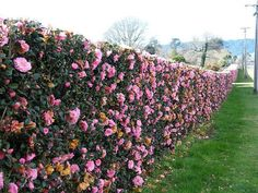 Camelia Hedge one of my favoritesroses without the work. Fun Gardening T Camelia Hedge one of my fav Hedges Landscaping, Garden Hedges, Backyard Landscaping, Fence Garden, Backyard Privacy, Back Gardens, Outdoor Gardens, Amazing Gardens, Beautiful Gardens