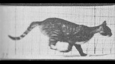 Eadweard Muybridge: Cat in trot changing to gallop
