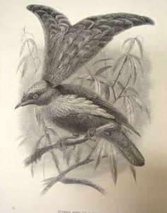 Bird of Paradise 1886