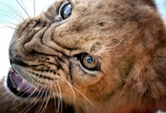 Lion Cub Growl  #photographytalk #wildlife