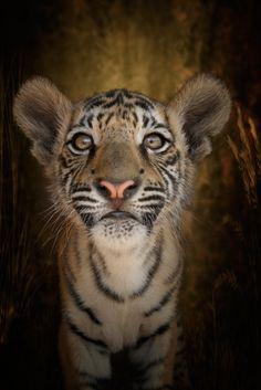 C U R I O U S I T Y    -    Young Tiger cub
