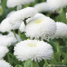 Daisy pomponnette blanche: container of 10 plants - White Flowers, Beautiful Flowers, Beautiful Things, Garden Online, Picnic Time, Summer Design, White Gardens, Autumn Summer, Bellisima