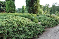 Juniperus communis 'Green Carpet' | Garden in Luogosanto ...