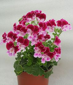 30 Pcs Rare True Geranium bonsai Potted Balcony Planting Seasons Pelargonium Potted Flower bonsai For Indoor Bonsai Mixed Color Flowers Perennials, Planting Flowers, Flower Seeds, Flower Pots, Snake Plant Care, Geranium Plant, Indoor Bonsai, Flower Names, Cactus Y Suculentas