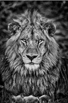 black and white portrait of a male lion by wildlife photographer Dave Hamman Black And White Photography Portraits, Lion Photography, Black And White Portraits, Lion Images, Art Images, Black And White Lion, Male Lion, Lion Art, African Animals