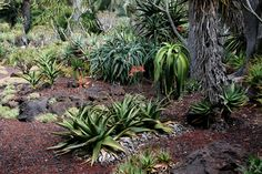 Aloe Garden, Lotusland