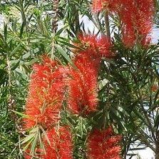 Tanaman Sikat Botol Merah (Red Bottlebrush)