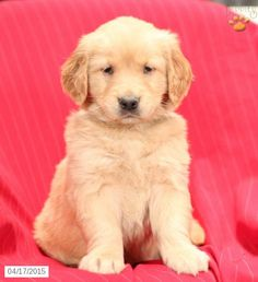 Golden Retriever Puppy for Sale in Pennsylvania