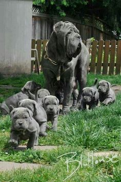 Neopolitan mastiffs. Casi en perfecta formación de a 1, a 2, a ... ?
