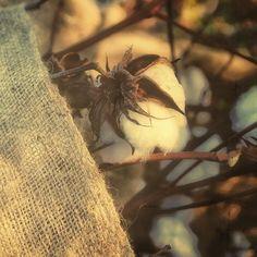 Cotton Pickin . . . . .  #cottonpickin #floydfarm #pembrokega #snapseed #cottonfield #cottonbag #burlapbag #gacotton #snapseedapp #historyofcotton Insects, Instagram Images, Animals, Animais, Animales, Animaux, Animal, Dieren