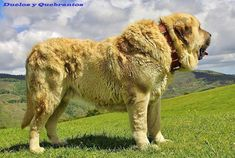 The Spanish Mastiff Livestock Guardian Dog: Protecting the Protectors Massive Dog Breeds, Large Dog Breeds, Best Dog Breeds, Best Dogs, Giant Dog Breeds, Huge Dogs, Giant Dogs, Akita Dog, Spanish Dog Breeds