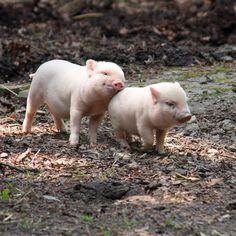 Two Little Piggies by Gret B.