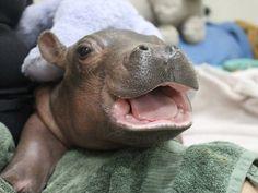Fiona - the baby hippo at the Cincinnati Zoo. http://ift.tt/2k0k6Jg