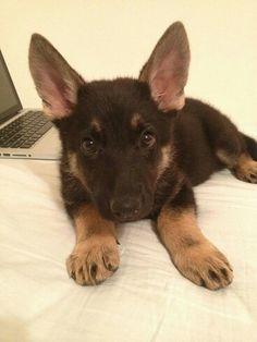 Wolf-hound puppy