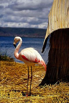 :: Flamingo on the Uros Islands • Lake Titicaca, Peru.