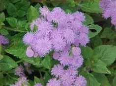 Ageratum houstonianum  -Floss flower.  Good annual for monarch waystation plantings.  Front bed near boarder with grass.