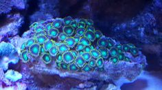 Dragon eyes zoanthids