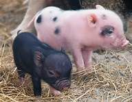 Pygmy pigs Lennox and Alice