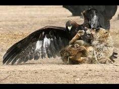 Eagle vs wolves   Eagle hunting Mountain Goat   Eagle Attack snake, Fox