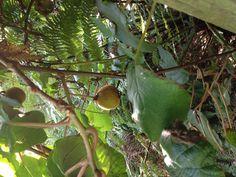 Kiwi fruit tree/vine growing in a park