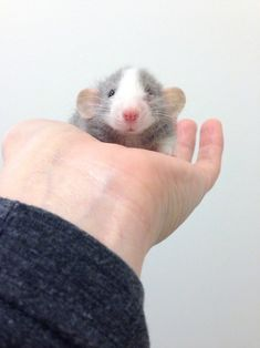 And finally, this little girl who is here to prove that rats might be the cutest critters of all time.