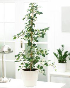 #indoor #tree #pflanze #pflanzenfreude #plants #planters