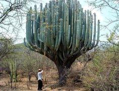 Este grande cacto, o Pachycereus weberi, é nativo do México e sul do Arizona.