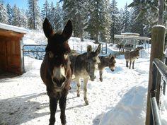 Courtesy:  Lavender Dreams Farm & Donkey Rescue, Spokane, Washington (USA).