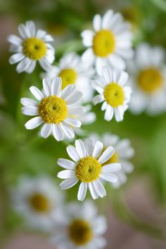 Angie Simple Flowers, Flowers Nature, My Flower, Beautiful Flowers, Daisy Love, Zinnias, Great Pictures, Trees To Plant, Simply Beautiful