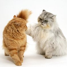 Persian Cat - http://catbreedsinformation.com/persian-cat/ For people that are looking for a medium sized, long coated cat breed, this is the cat for them. The Persian Cat is a popular cat breed originally from Iran.Some people may refer to this cat breed as a  Longhair and Persian Longhair because some cats are known by different names.The Persian Cats are said to have quite the personality. Their owners have said that they are often kind, loving, and calm.Owners can expect