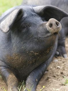 9 Pigs Who Are So Glad You Stopped By - ChooseVeg.com