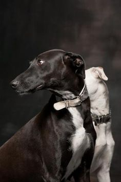 I would LOVE to have a black Greyhound someday - maybe in a year... when I'm able to share my Ryder! Beautiful Greyhounds -  by Paul Croes