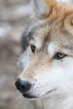 'Wolf Close-Up' by Mark Dumont