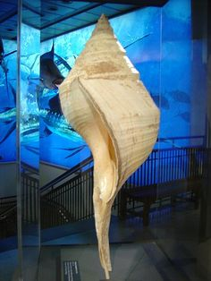 Wonders of the world ~ World's largest seashell | Houston Museum of Natural Sciences