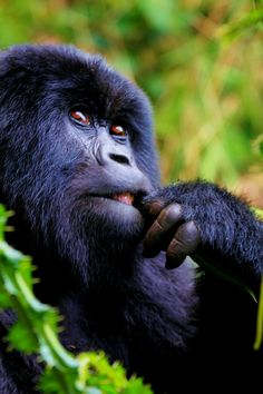 Contemplating - A member of the Agashya Family - Mountain Gorillas of…