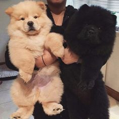 Although we, as dog lovers, are fond of all dogs, we all have a slight preference for one particular breed. Perros Chow Chow, Chow Chow Dogs, Cute Baby Animals, Animals And Pets, Sweet Dogs, Fluffy Dogs, Cute Dogs And Puppies, Doggies, My Animal