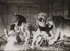A lion tamer at Bertram Mills Touring Circus, Ascot. This photograph is from the Daily Herald Archive, held at the National Media Museum, UK. It is a collection of over three million press photographs, dating from Old Circus, Night Circus, Vintage Circus Photos, Vintage Photographs, Art Du Cirque, Circo Vintage, Lion Tamer, Blogging, Circus Performers