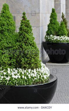 Dwarf Alberta spruce (Picea glauca 'Conica') and violets (Viola) Stock