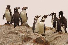 Humboldt Penguins (Spheniscus humboldti) On Isla San Lorenzo outside Lima City, Peru by Cock Reijnders