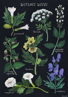 green witchcraft amandaherzman: witches weeds - jimsonweed datura stramonium, hemlock conium maculatum, enchanters nightshade circaea lutetiana, deadly nightshade atropa belladona, h Botanical Illustration, Botanical Prints, Botanical Flowers, Witch Herbs, Herbal Witch, Herbal Magic, Herbal Oil, Green Witchcraft, Witch Aesthetic
