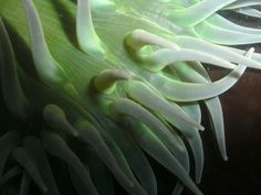 Tentacles of the giant green sea anemone | Shooting From The Hip