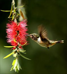 Scintillant Hummingbird sipping the nectar from flower while in flight!