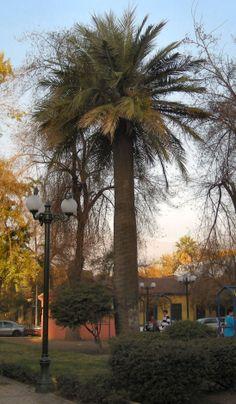 Jubaea chilensis en Plaza Ñuñoa. Santiago 2009